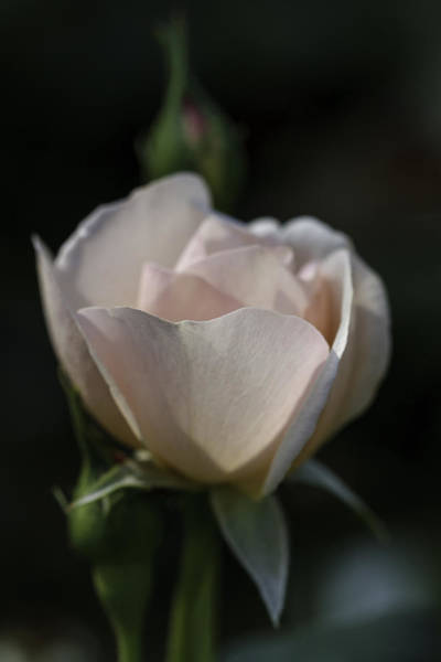 Photograph - Pink Roses 0002 by Donald Brown