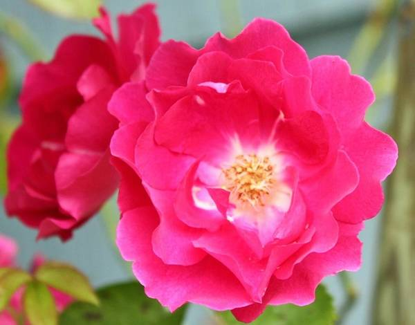 Wall Art - Photograph - Pink Roses by Cathie Tyler
