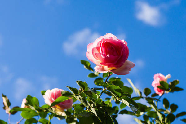 White Rose Photograph - Pink Roses - Featured 3 by Alexander Senin