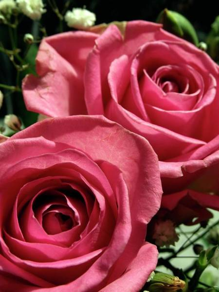 Corolla Photograph - Pink Roses by Ian Gowland/science Photo Library