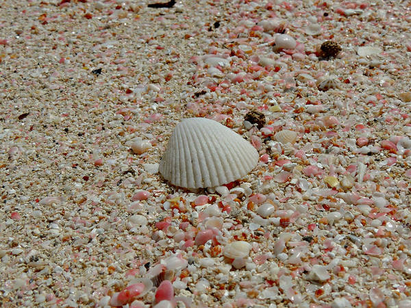 Photograph - Pink Sand Beach Shells by Kimberly Perry