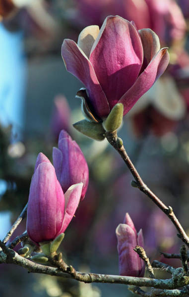 Garden Wall Art - Photograph - Pink Saucer Magnolia II by Suzanne Gaff