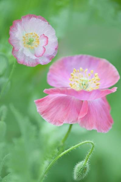 Carpel Photograph - Pink Shirley Poppies by Maria Mosolova