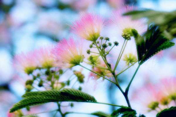 Wall Art - Photograph - Pink Silk (albizia Julibrissin F. Rosea) by Maria Mosolova/science Photo Library