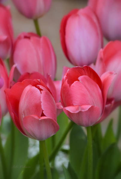 Pink Spring Tulips Art Print