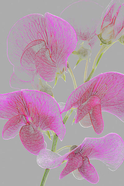Freshness Photograph - Pink Sweet Pea Flowers As Coloured by Rosemary Calvert