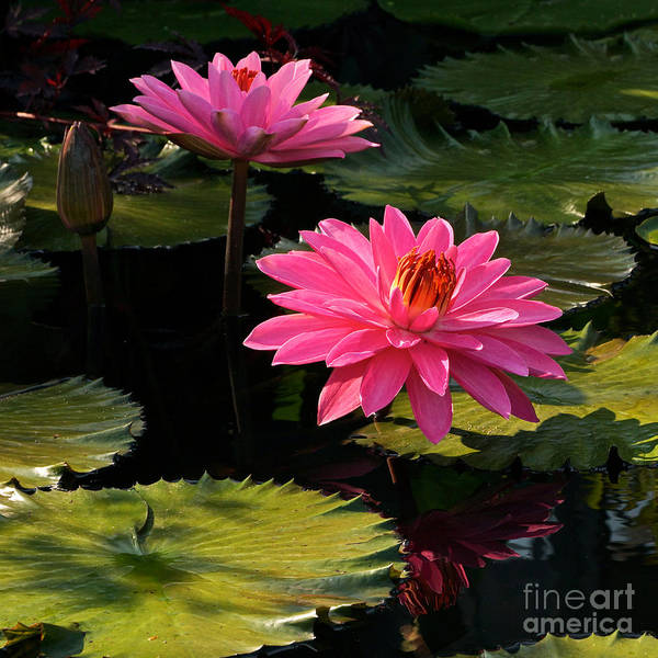 Photograph - Pink Tropical Water Lilies by Byron Varvarigos