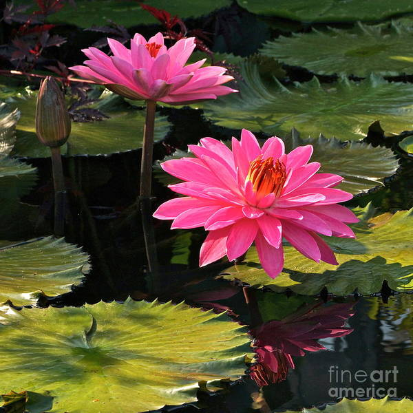 Photograph - Pink Tropical Waterlilies -- Version 2 by Byron Varvarigos
