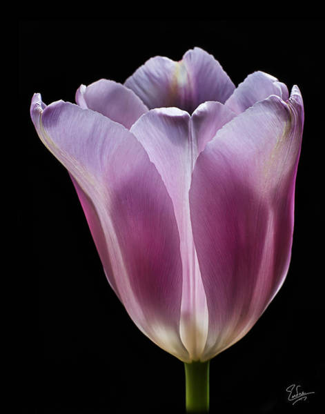 Photograph - Pink Tulip  by Endre Balogh