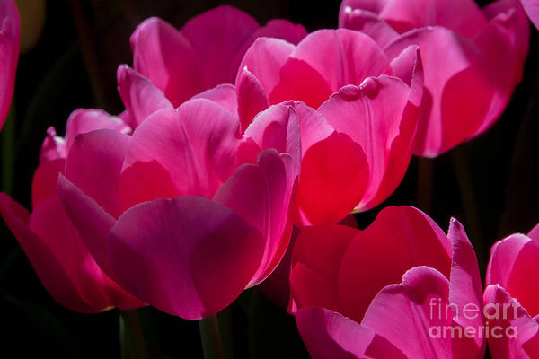 Photograph - Pink Tulips 1 by Chris Scroggins