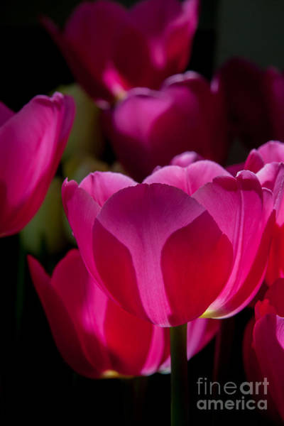 Photograph - Pink Tulips 2 by Chris Scroggins