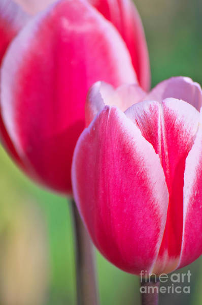 Photograph - Pink Tulips II by Angela Doelling AD DESIGN Photo and PhotoArt