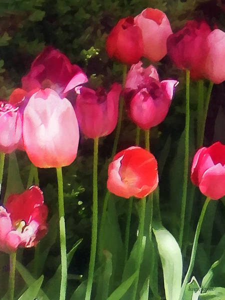 Photograph - Pink Tulips In Garden by Susan Savad