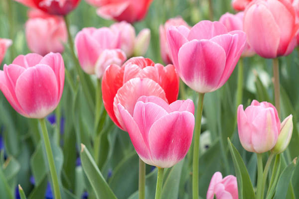Photograph - Pink Tulips by Rospotte Photography