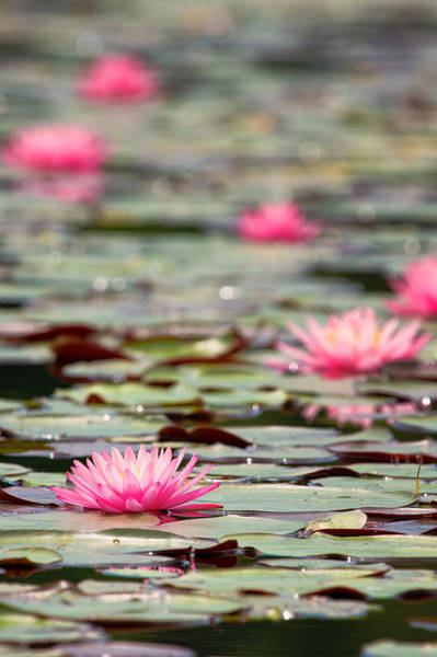 Photograph - Pink Water Lilies Bellamy Reservoir  by Jeff Sinon