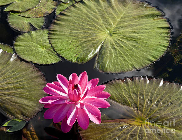 Photograph - Pink Water Lily II by Heiko Koehrer-Wagner