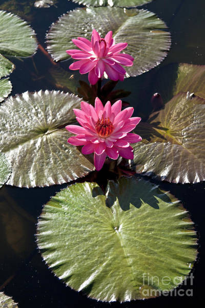 Water Lillies Photograph - Pink Water Lily IIi by Heiko Koehrer-Wagner