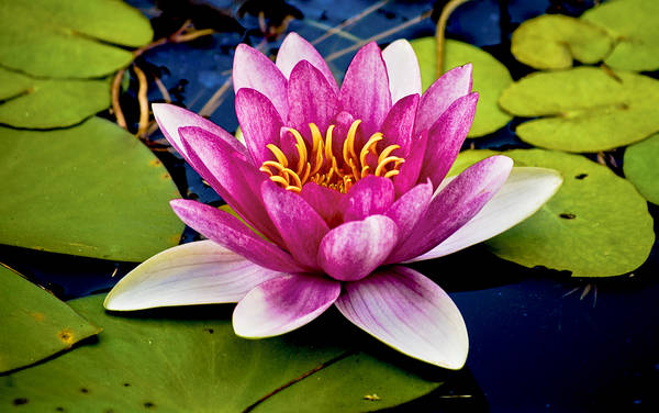 Photograph - Pink Waterlily by Christi Kraft