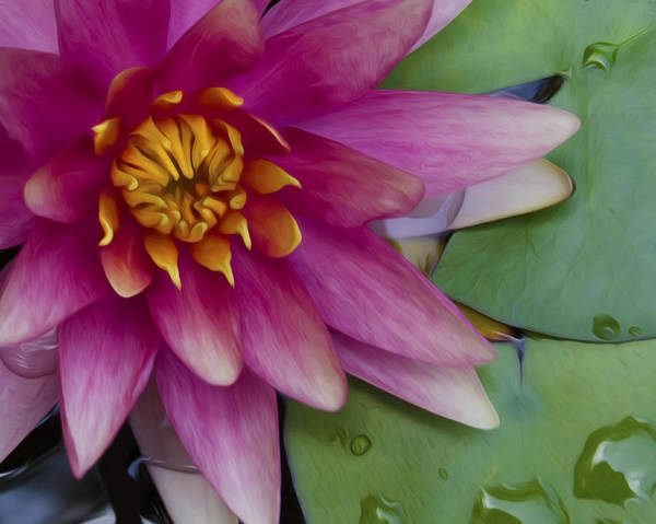 Wall Art - Photograph - Pink Waterlily  by Dave Sandt