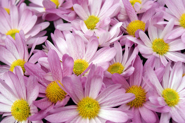 Christmass Photograph - Pink White And Yellow Flowers by Fabian Cardon
