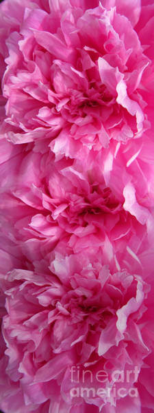 Wall Art - Photograph - Pink Wonder by Tina M Wenger