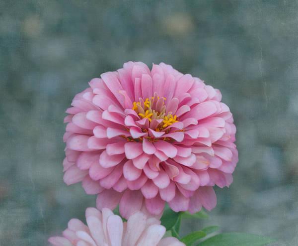 Zinnia Wall Art - Photograph - Pink Zinnia Flower by Kim Hojnacki