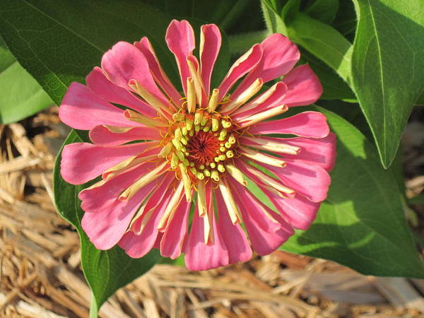 Digital Art - Pink Zinnia Mid Bloom by Doug Morgan