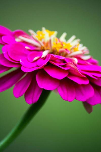 Photograph - Pink Zinnia by Parker Cunningham