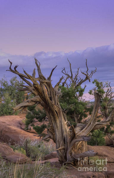 Photograph - Pinon Pine by David Waldrop