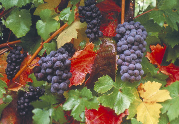 Wall Art - Photograph - Pinot Noir Grapes by F. Stuart Westmorland
