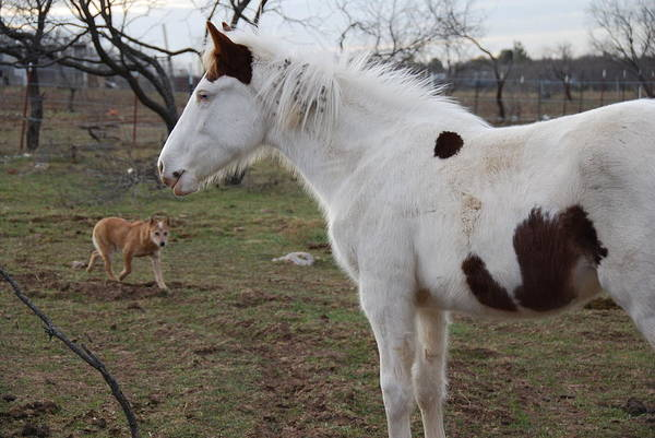 Wall Art - Photograph - Pint Filly And Heeler by Thea Wolff