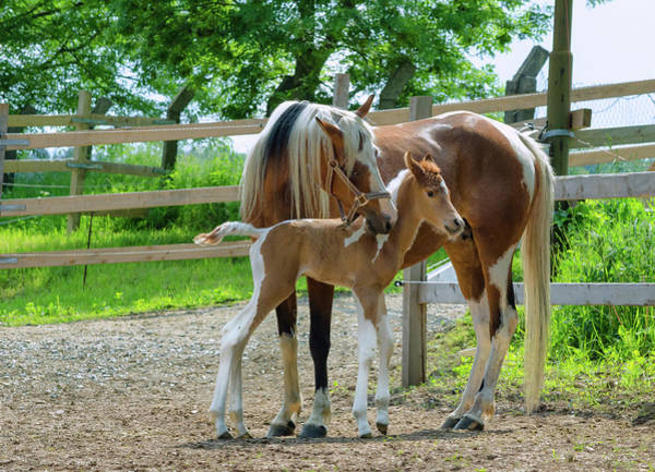 Mare Photograph - Pinto Arabian Horses - Mare And Newborn by Kerrick
