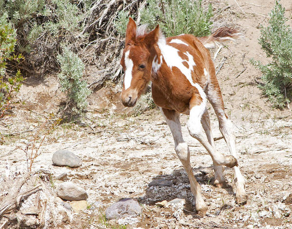 Photograph - Pinto Foal Running by Lula Adams