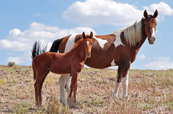 Photograph - Pinto Mare And Foal by Lula Adams