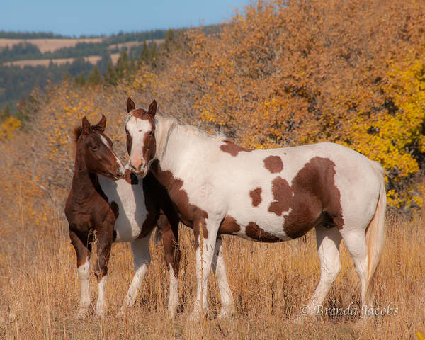 Photograph - Pintos In Glacier National Park by Brenda Jacobs