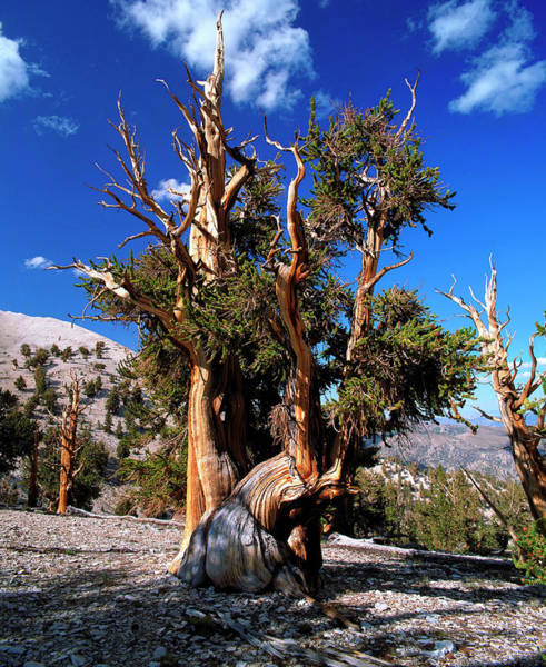 Native Plant Photograph - Pinus Aristata by Andrew Brown/science Photo Library
