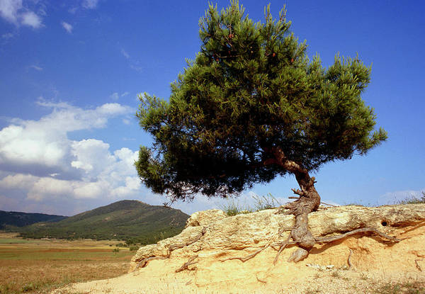 Native Plant Photograph - Pinus Halepensis by M F Merlet/science Photo Library