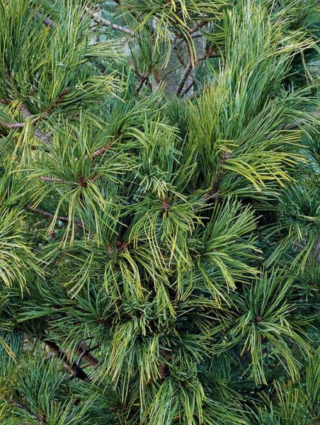 Pine Needle Photograph - Pinus Strobus 'densa' by Geoff Kidd/science Photo Library