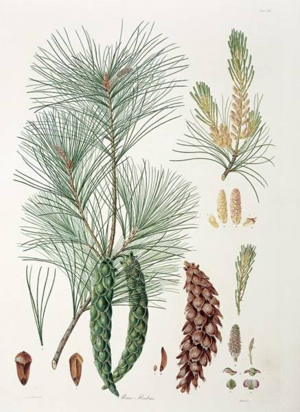 Ferdinand Photograph - Pinus Strobus by Natural History Museum, London/science Photo Library