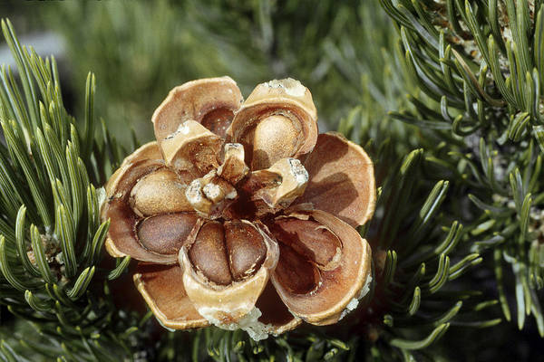 Wall Art - Photograph - Pinyon Pine Cone Showing Pine Nuts by Thomas And Pat Leeson