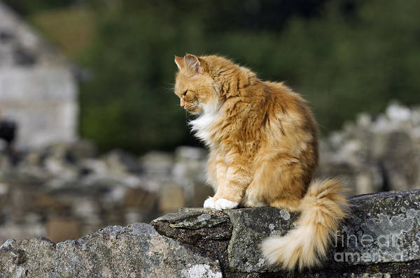 Orange Tabby Photograph - Pious Tabby - D002540 by Daniel Dempster