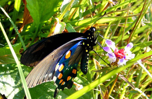 Photograph - Pipevine Butterfly In The Grass by Duane McCullough