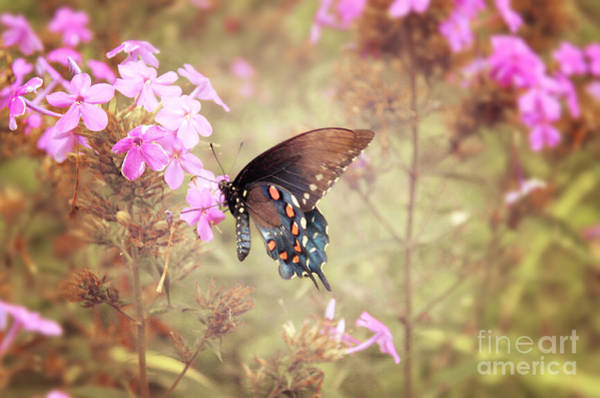 Wall Art - Photograph - Pipevine Swallowtail Butterfly by Lena Auxier