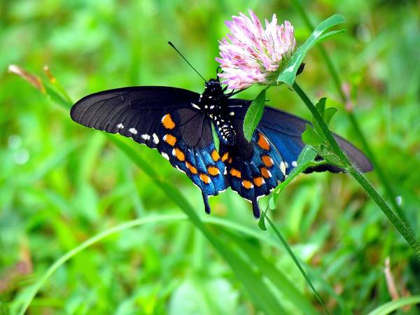 Pipevine Swallowtail Hanging On Art Print