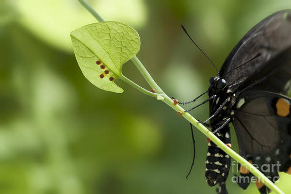 Photograph - Pipevine Swallowtail Mother With Eggs by Meg Rousher