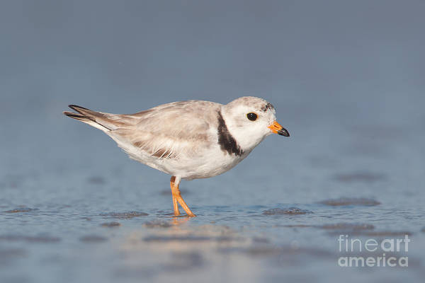 Photograph - Piping Plover I by Clarence Holmes