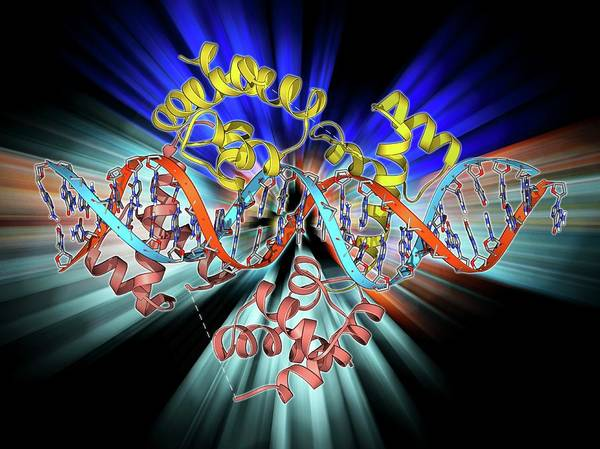 Double Helix Photograph - Pit-1 Transcription Factor Bound To Dna by Laguna Design