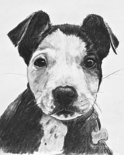 Drawing - Pitbull Puppy Black And White by Kate Sumners