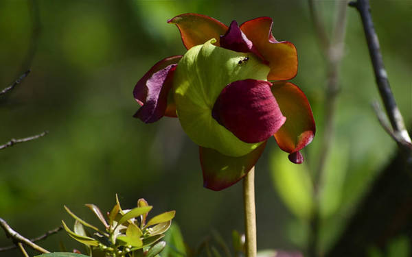 Pitcher Plant Flower 1 Art Print