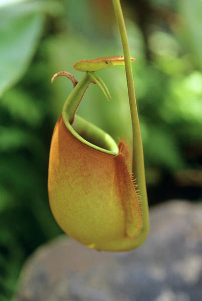 Pitcher Plant Photograph - Pitcher Plant (nepenthes Bicalcarata) by Sally Mccrae Kuyper/science Photo Library